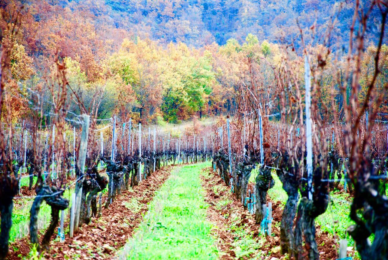 vignes bois chateau du cèdre cahors